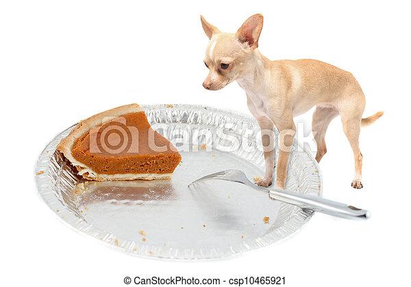 Chihuahua wants pumpkin pie - csp10465921