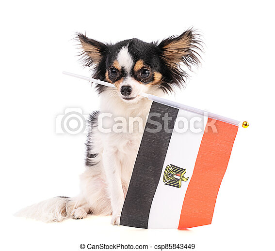 Chihuahua with a flag of Egypt - csp85843449
