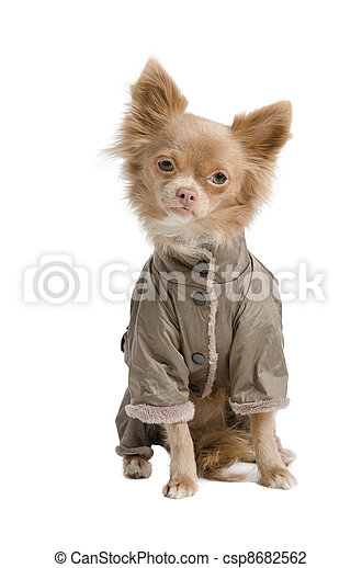 Chihuahua with coat - csp8682562