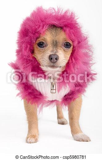 Chihuahua with hood - csp5980781