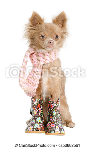 Chihuahua with scarf - csp8682561