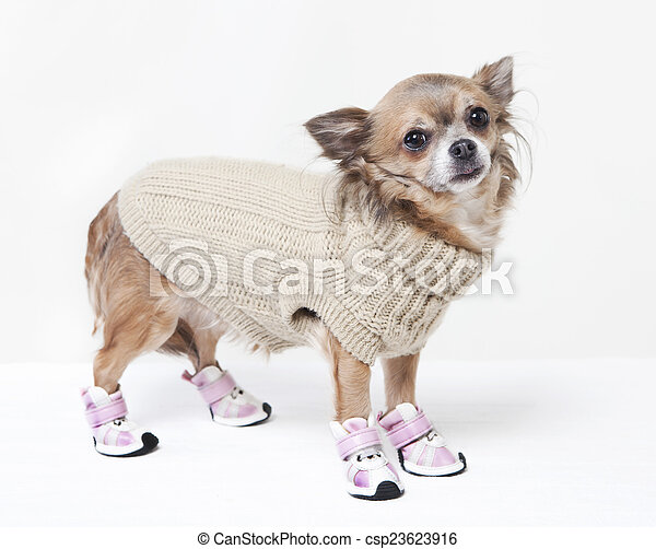 chihuahua with winter clothes - csp23623916