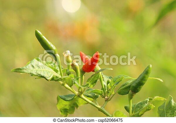 Chili pepper in garden - csp52066475