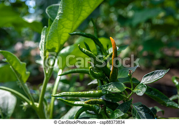 chili peppers on an organic farm in a greenhouse - csp88373834