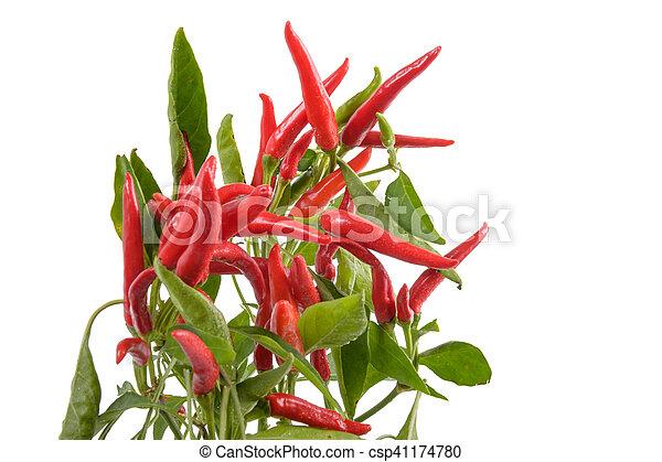 Chili Bilder chili pflanze rotes pflanze blätter hintergrund grün