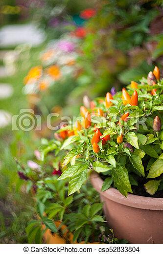 Chilli pepper in the garden. - csp52833804