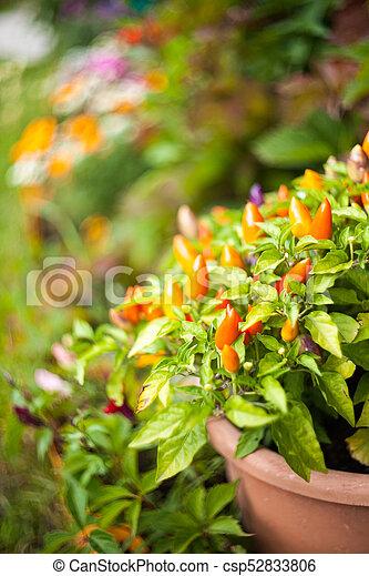 Chilli pepper in the garden. - csp52833806