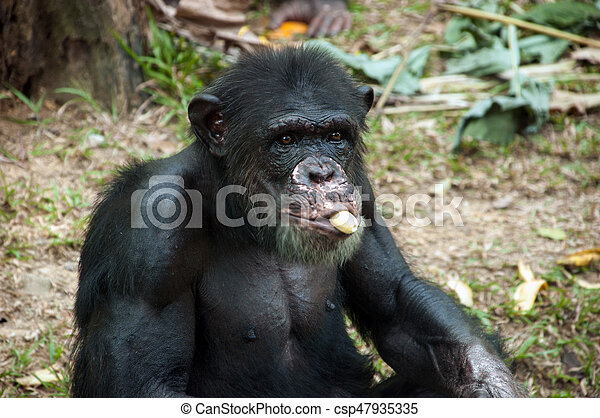 Chimpanzee eating banana - csp47935335