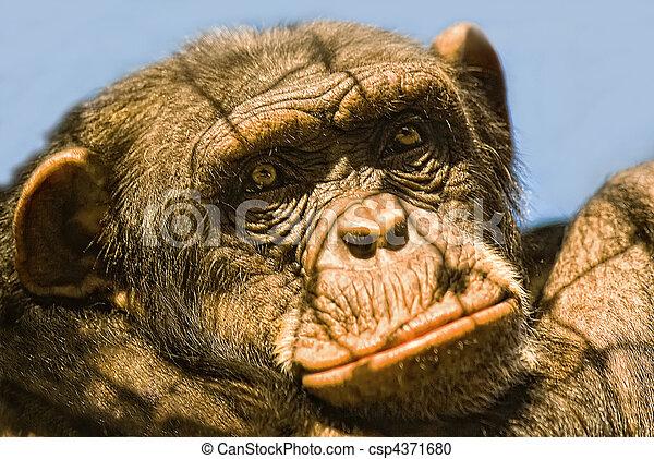 Chimpanzee (Pan troglodytes) in captivitiy - csp4371680