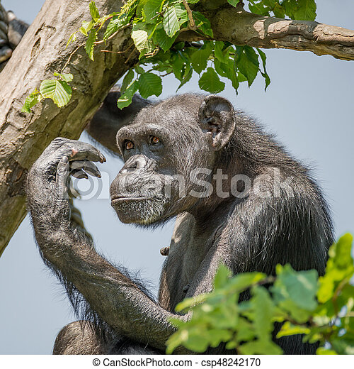 Chimpanzee portrait at tree at guard - csp48242170