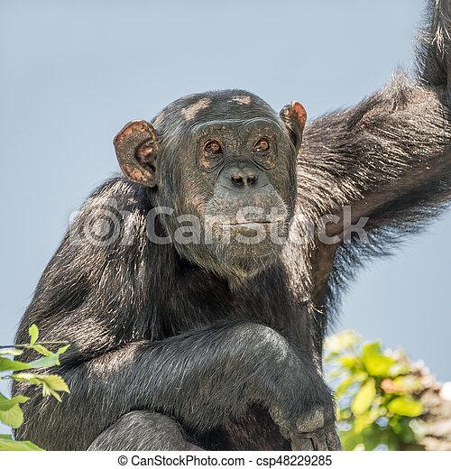 Chimpanzee portrait at tree at guard - csp48229285
