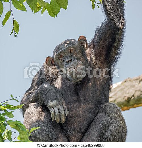 Chimpanzee portrait at tree at guard - csp48299088