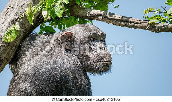 Chimpanzee portrait at tree at guard - csp48242165