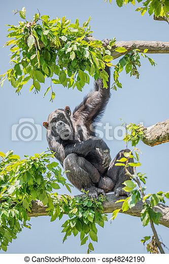 Chimpanzee portrait at tree at guard - csp48242190
