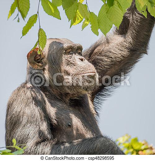 Chimpanzee portrait at tree at guard - csp48298595