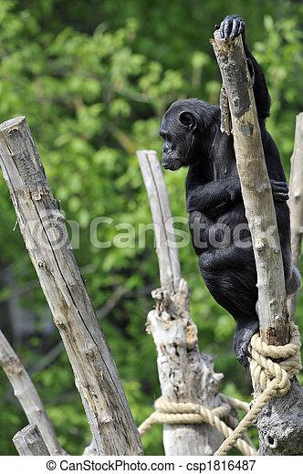 Chimpanzee portrait - csp1816487