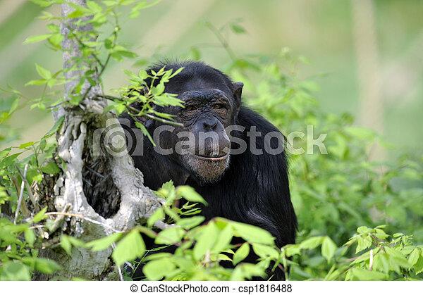 Chimpanzee portrait - csp1816488