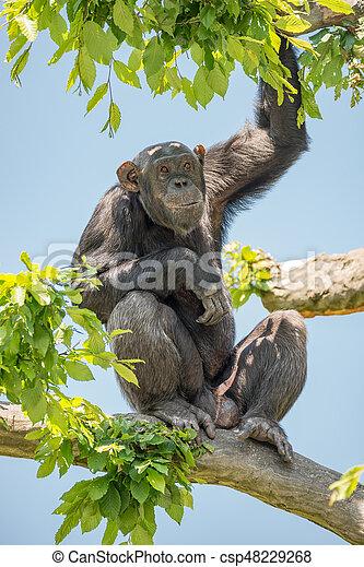Chimpanzee portrait sitting at tree - csp48229268