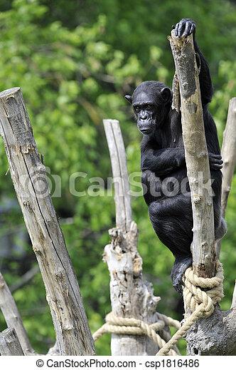 Chimpanzee portrait - csp1816486