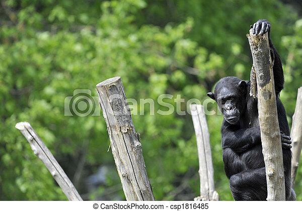 Chimpanzee portrait - csp1816485
