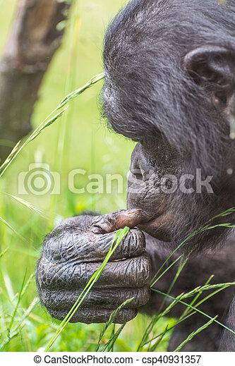 Chimpanzee portrait. - csp40931357