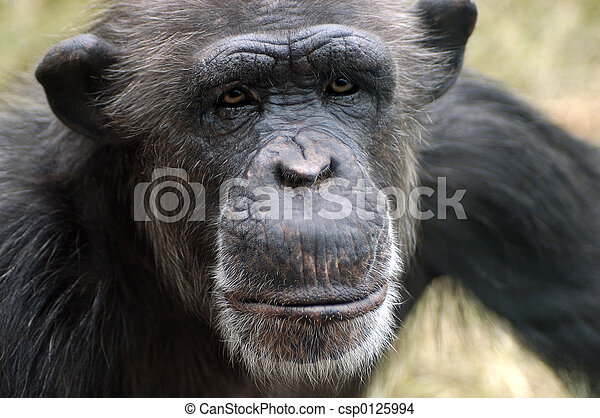 Chimpanzee Portrait - csp0125994