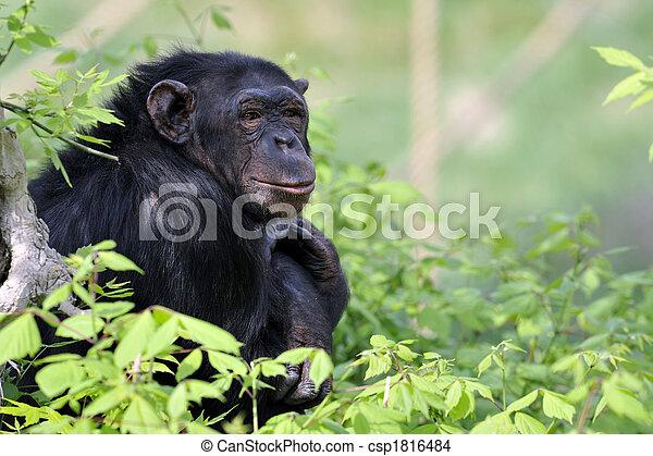 Chimpanzee portrait - csp1816484