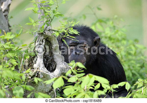 Chimpanzee portrait - csp1816489
