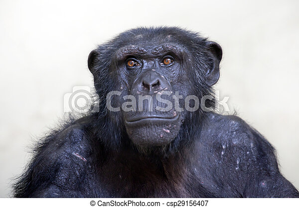 Chimpanzee portrait - csp29156407