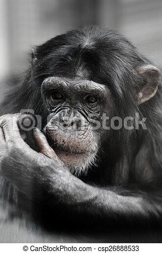 Chimpanzee portrait - csp26888533