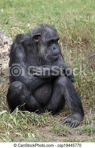Chimpanzee sitting in the grass - csp19445770