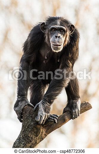 Chimpanzee - csp48772306