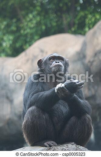 Chimpanzee - csp0005323