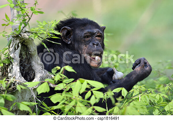Chimpanzee with garlic - csp1816491
