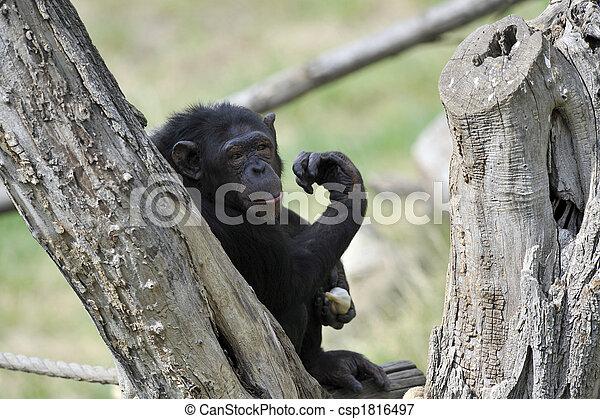 Chimpanzee with garlic - csp1816497
