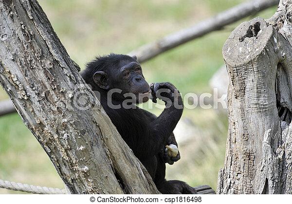 Chimpanzee with garlic - csp1816498