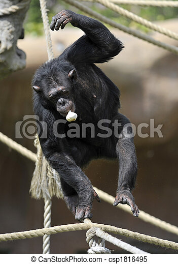 Chimpanzee with garlic - csp1816495