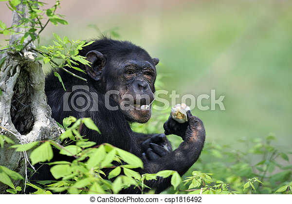 Chimpanzee with garlic - csp1816492