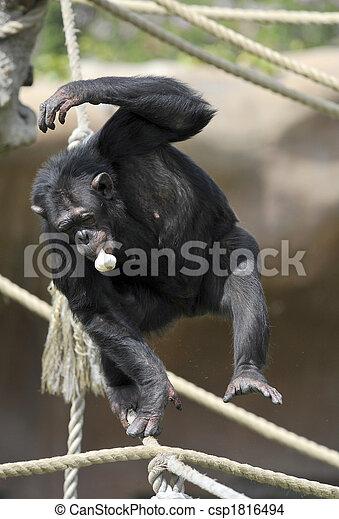 Chimpanzee with garlic - csp1816494