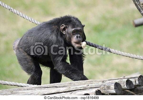 Chimpanzee with garlic - csp1816499