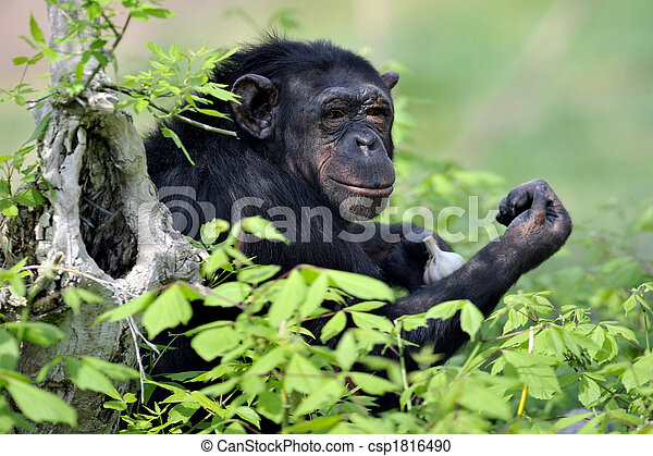 Chimpanzee with garlic - csp1816490