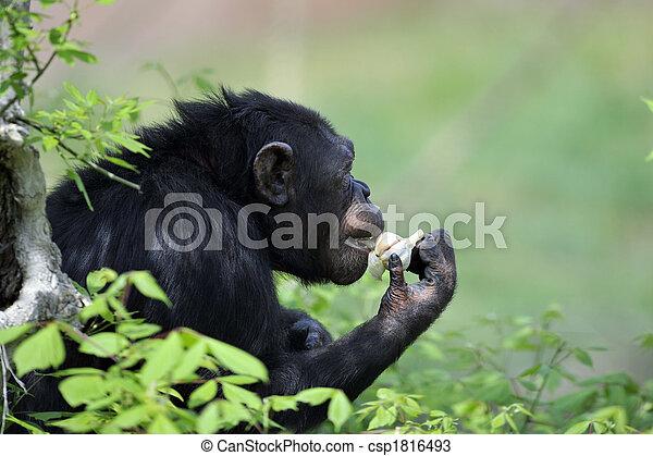 Chimpanzee with garlic - csp1816493