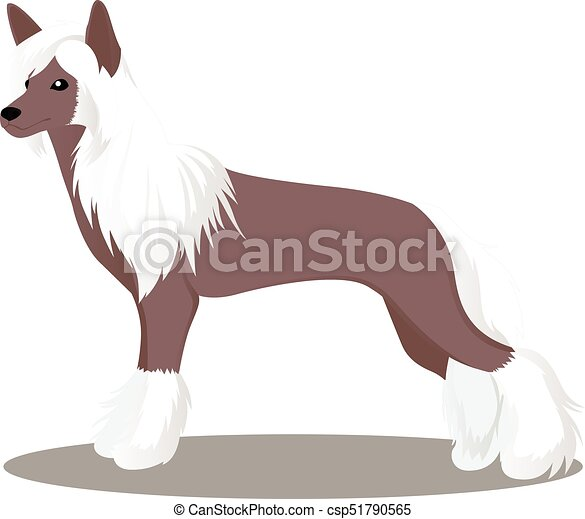 Chinese crested dog - csp51790565