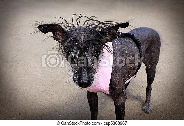 Chinese Crested Hairless Dog - csp5368967