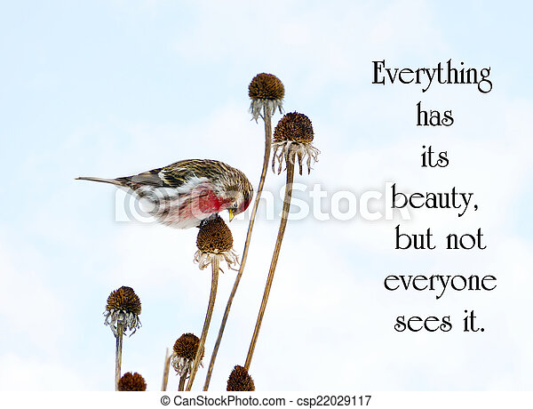 Chinese proverb about beauty in nature, with a pretty male common redpoll bird perched on a dead daisy stalk, eating seeds in the winter. - csp22029117