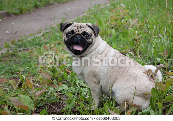 Chinese pug puppy cream-colored is sitting on a spring meadow  Dutch  mastiff or mops
