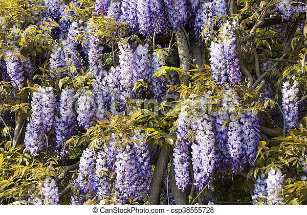 Wisteria sinensis or chinese wisteria can have blue white or wisteria sinensis or chinese wisteria can have blue white or purple flowers the plant is a vine but it can be trained in a tree like form it blooms in mightylinksfo