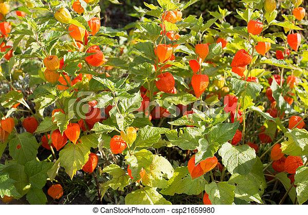 Chinois Fleur Al Physalis Lanterne