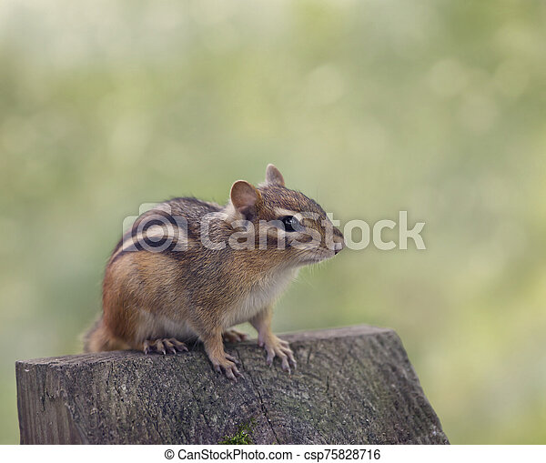 Chipmank perching on a wood - csp75828716