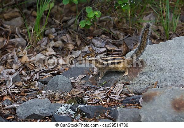 chipmunk sitting on a rock - csp39514730